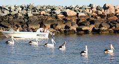seagulls pelicans birds seagull gull gulls pelican moewe mage meeuw gabbiani meeuwen mouette seabirds pelikaan pelicano laridae zeemeeuw pellicano camar pelikaanit burungundan