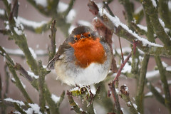 "Portrait Of A Robin (Chris ""Donny"" Donohoe) Tags: uk winter snow bird robin birds canon garden 250mm 550d"