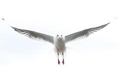 Seagull (Nexus Nine Photography) Tags: bird nature animal flying pond seagull flight overcast heath hampstead creature fugl ornithology oiseau vogel uccello glide kuş chim zog fågel lintu ibon burung adar ptas laridae 鸟 ptica ndege avem voël pasăre quş pàjaro zwazo pàssaro èan