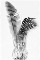 feathers ... 5/52 (John FotoHouse) Tags: uk bw macro canon eos europe flickr leeds 100mm johndolan westyorkshire dolan leedsflickrgroup leedsflickr johnfotohouse canon7d yorkshirephotographer giveusyourbestshot copyrightjdolan 522013week5