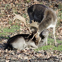 Love is in the air! (Eleanor (WHU)) Tags: uk leaves stag doe antlers fallowdeer stanmore stanmoredeerpark january2013 blinkagain nikoncoolpixp510