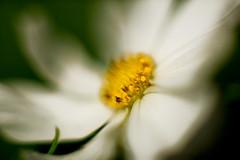 White Daisy 5 Macro f1.2 (dennisgg2002) Tags: towerhillbotanicalgardenboylston massachusetts flowers vintage lens wide open