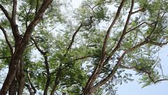 Jacaranda Tree Branches, Victoria Garden, Stone Town, Zanzibar, Tanzania (HDR) (dannymfoster) Tags: africa tanzania zanzibar victoriagarden tree jacarandatree