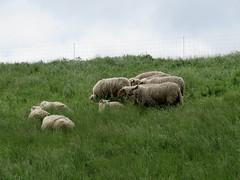 ckuchem-0221 (christine_kuchem) Tags: tiere weide meer gras kste schaf deich herde schafherde nutztier
