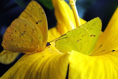 Gelb und Gelb (   flickrsprotte  ) Tags: sommer gelb kiel ausstellung schleswigholstein schmetterlinge botanischergarten flickrsprotte