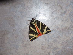 caille chine ou Callimorphe (Euplagia quadripunctaria) (Didier Auberget Photographie) Tags: macro insect insecta endopterygota lepidoptera lpidoptre arctiidae arctiinae arctiini euplagia caillechine callimorphe euplagiaquadripunctaria callimorphechine phalnechine jerseytiger papillon butterfly