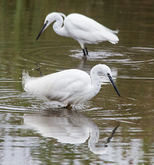 two little egrets (kimbenson45) Tags: animals birds black egrets feathers green nature reflected reflection rippled ripples water waterway white wildlife