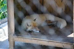 2016 北海道D6 4x6 3246 (chaochun777) Tags: 北海道 旭山 動物園 露營 自由行 猴子 長臂猿 猩猩 雲豹 花豹 老虎 獅子 北極熊 企鵝