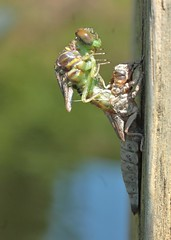 emerging - 3:17pm (hennessy.barb) Tags: dragonfly hatching emerging morphing insect