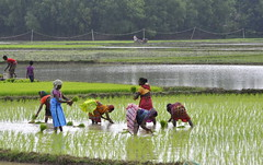 The paddy field (mala singh) Tags: paddy agriculture monsoon women colours india rural bengal