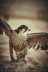 Qatari falcon (Paterdimakis) Tags: falcon qatar nature bird animal fly color flight wings head fuji fujiflm