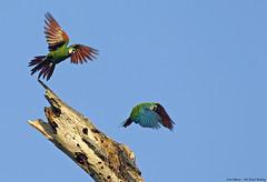 Chestnut-fronted Macaw - maracanã-guaçu - Ara severus