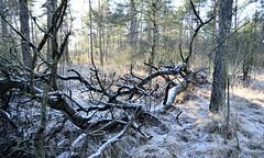 (NikkiZeeuw) Tags: tree sticks snow cold winter
