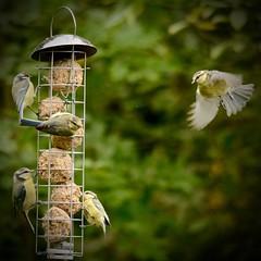 4 plus 1 (J @BRX) Tags: adeldam yorkshirewildlifetrust goldenacrepark bramhope leeds yorkshire england uk august2016 summer bird green blue feeder feeding tits bluetit fatballs flight