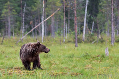 Bear in the rain (ToriAndrewsPhotography) Tags: brown bear rain finland wild photography andrews tori