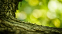 There's soldiers on the crest! (ParadoX_Design) Tags: ant soldier metaphorical insects green bokeh animals sunlight crest tree bark
