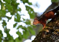 DSC_8056 (ericdar1) Tags: squirrel cureuil pyrnes arbre faune nature sauvage