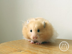 Yuzu Cream Puff (hesedetang *) Tags: yuzucreampuff syrianhamster hamster hamsters hamsterfamily