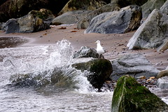 (a-15507) Unruffled feathers (Clixworker) Tags: herringgull rock breakingwave sea shore