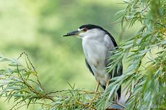 Black Crowned Night Heron (Les Matthews) Tags: red bird heron outdoors nature wildlife