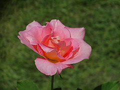 DSC00488 (gregnboutz) Tags: flower flowers bloomingflower bloomingflowers brightflowers colorfulflower colorful colorfulmacros colorfulmacro colorfulroses colorfulrose macro macros macroflower macroflowers macroroses macrorose pink pinkflower pinkflowers pinkroses pinkrose