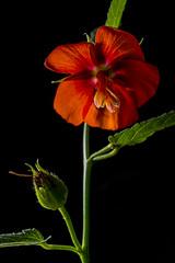 Pentapetes phoenicea (JardinBotanique_Nancy) Tags: 20163120 fleur jardinbotaniquejeanmariepelt jardinsbotaniquesdenancy malvaceae pentapetes phoenicea serrestropicales flower
