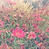 Pull down your pants and suffocate the ants, it's an English country garden🎶😱😌  #inanenglishcountrygarden #jardin #blooms #pinkflower #autumn #garden #flowers #flower #streettogs #nikon #nikonstreet #naturelovers #yah #colourpop #str (jophipps1) Tags: nikon naturephotography autumn blooms britishsummer flower pinkflower streetphotography streettogs lovelife colorsofourlives colourpop garden yah nature nikonstreet jardin naturelovers endofsummer inanenglishcountrygarden fleur grateful flowers