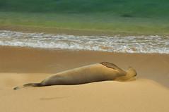 Hawaiian Monk Seal - Sleeping Peacefully! (Iftekhar Naim) Tags: hawaiianmonkseal monkseal seal wildlife monk sleeping beach sea hawaii kauai poipu poipubeach marinelife nature water blue green