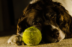 Yep her best friend is....a ball ! (TrevKerr) Tags: nikond7000 nikon nikon85mmf18 portrait dog ball springer springerspaniel