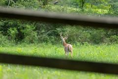 Whitetail Deer Through the Gate (SaunTek) Tags: whitetail deer mammal nature wildlife
