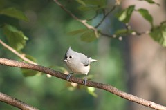 IMG_5964 (grnygole) Tags: tuftedtitmouse