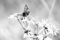 SMALL COPPER (merseymouse) Tags: smallcopper butterflies blackandwhite monochrome
