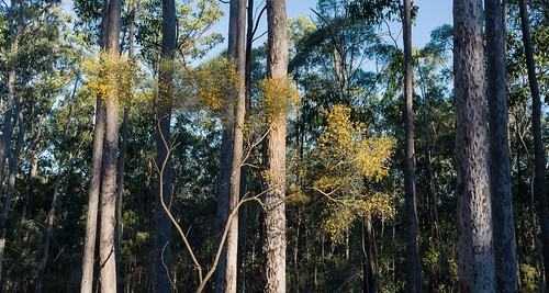 Dogwood and Spotted Gum