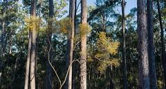 Dogwood and Spotted Gum (dustaway) Tags: trees australiantrees redhill woodland spottedgum dogwood yellowflowers bark trunks corymbiahenryi bungawalbincatchment richmondvalley northernrivers nsw nature australia