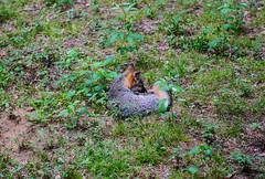 Fox Free of Hounds (Gabriel FW Koch (fb.me/FWKochPhotography on FB)) Tags: animal fox garden sleeping tail bushy feline canon dof eos bokeh lseries 100mm outside forest woods swamp uplands cute wild wildlife grass