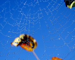 Suspended pearls (Inspiredbyournature) Tags: webs spiderwebs dew drops spider