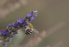 Amegilla sp searching for nectar (Nikos Roditakis) Tags: amegilla sp hymenoptera apidae solitary bee flowers bees rosemary flower insects nikos roditakis nikon d5200 macro tamron af 90mm f28 di vc usd