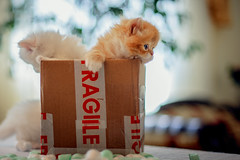 Fragile, handle with care (koolandgang) Tags: persian irankedisi kedi kedici cat kitten kitty feline babycat indoor nikon50mmf14 box fragile handlewithcare parcel package reis şimal