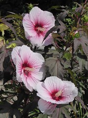 Lisle, IL, Morton Arboretum, Pink Rose of Sharon (Hibiscus) Flowers (Mary Warren (7.3+ Million Views)) Tags: lisleil mortonarboretum nature flora plants hibiscus pink roseofsharon blooms blossoms flowers