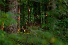 EarlySeasonRub (jmishefske) Tags: d800e whitetail antler buck wildlife halescorners rack wisconsin september park whitnall milwaukee nikon deer 2016