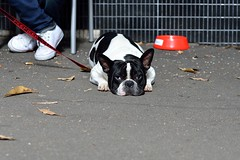 dog gone days (Peter Grifoni) Tags: street dog white hills surry balck crown gtpete63 gtpete wwwgtpetephotographycom petergrifoni