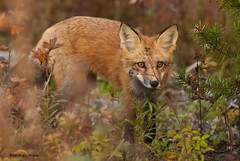 291 (Les Piccolo) Tags: red white ontario marie river fox ste sault