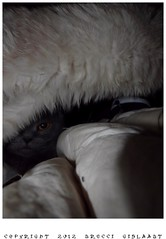 Strange shot of Vanouchka (Gislaadt Art - 47 years today) Tags: pet animal cat scottish gato catnipaddicts