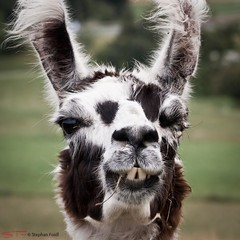 Lama (SF-Photo) Tags: travel family vacation animal germany de mammal deutschland europa europe outdoor familie lama deu tier badenwrttemberg sugetier freiland engelswies