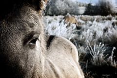 Alone. (quiksilver_71) Tags: horse cold eye field sony frosty stortford bishop a350
