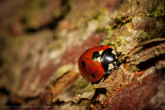 Night Time Ladybird (Mark Crawshaw) Tags: closeup insect sheffield ladybird macrolens macrophotography canonmacrolens grenowoods canon5dmarkii markcrawshawphotography