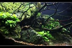 2.5 gallon project-update (mr.phamtastic) Tags: nature aquarium design tank 25 pico nano amano gallons planted boraras badis