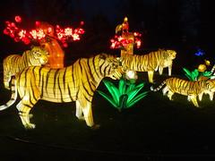 #illuminasia    #autumn (Mr. Happy Face - Peace :)) Tags: illuminations lights colors lumen lux luz light luce licht  lumire  art2016 illuminasia autumn calgaryzoo hss yyc cowtown tiger