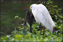 Bird_4934 (Robinson T Cunha) Tags: nikon 1001nights naturesgreenpeace 1001nightsmagiccity mygearandme allnaturesparadise rememberthatmomentlevel1 rememberthatmomentlevel2 freedomtosoarlevel1birdphotosonly freedomtosoarlevel1birdsonly