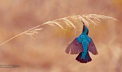 Purple sunbird (Sandeep Somasekharan) Tags: sandyclix